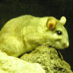 Whitethroated Woodrat