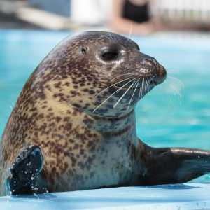 Cocoa the harbor seal at Hersheypark
