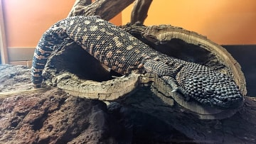 Mexican Beaded Lizard
