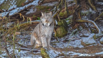 Canada Lynx